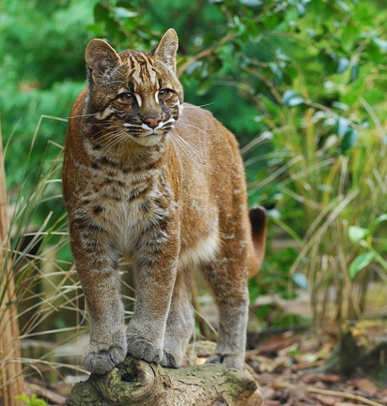 Asiatic golden cat via Wikimedia Commons.