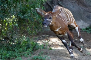 Baby bongo at Taronga Zoo 2012