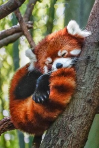 baby red panda sleeping in tree