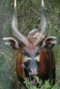 Bongo with horns