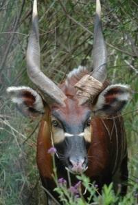 Bongo with horns