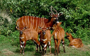 Eastern Bongo calves  at the Mount Kenya Wildlife Conservancy -