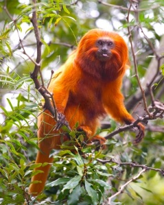Golden lion tamarin foraging