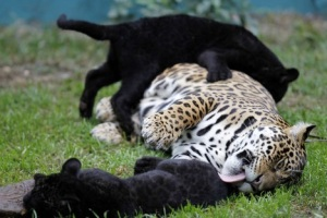 Jaguar and melanistic cubs born in captivity