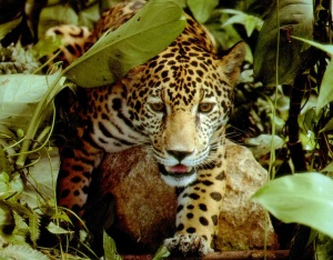 Young jaguar in the undergrowth