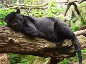Jaguar melanistic - black colour morph