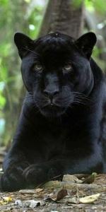 jaguar melanistic