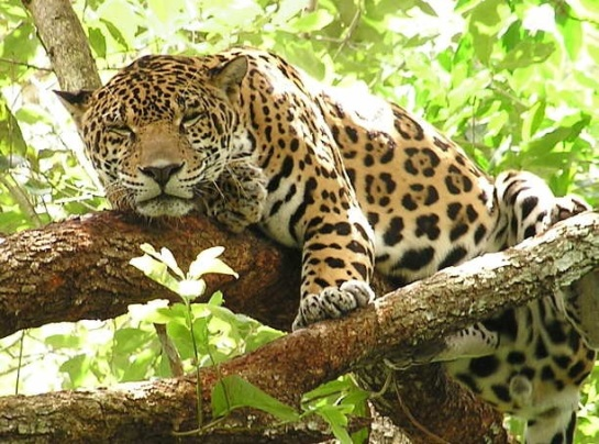 Jaguar sleeping in a tree