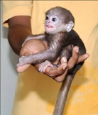 Juvenile purple-faced leaf langur  kept as a pet