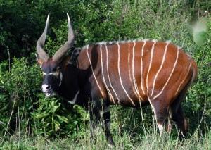 Male bongo Mount Kenya