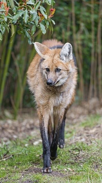 Maned wolf by Tambako the Jaguar