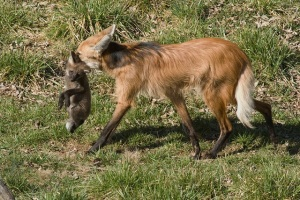 Maned wolf carrying pup