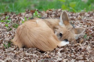 Maned wolf pup curled up
