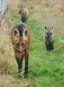 Maned wolf walking with two pups