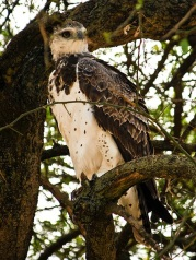 Martial Eagle (Polemaetus bellicosus) at Masai Mara, Kenya