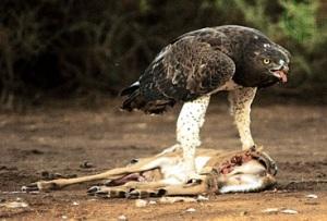 Martial eagle (Polemaetus bellicosus) with prey.