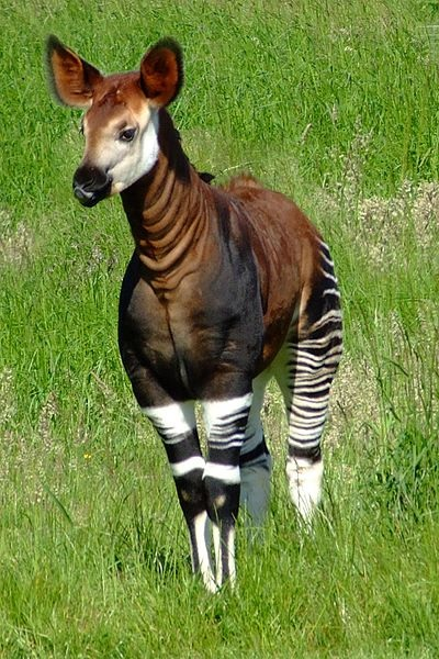 Young okapi by Charles Miller IUCN