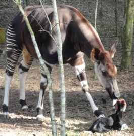 Okapi with newborn calf