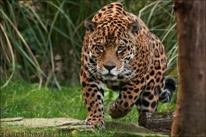 Pantanal Jaguar - Panthera onca palustris