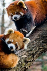 Red panda friends