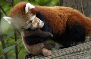 Red Panda mother and baby hugging