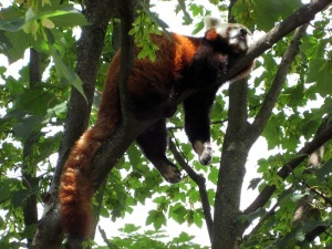 Red panda sleeping in a tree by Aconcagua