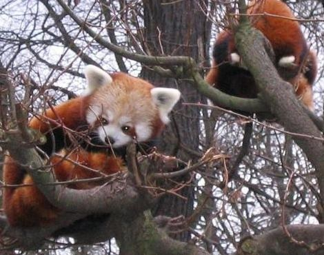 Two young red pandas in a tree