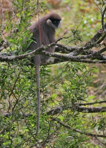 Western purple-faced langur  by Steve Garvie