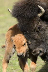 American bison calf - Zoo de Servion, Switzerland 2012