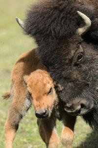 American bison calf - Zoo de Servion, Switzerland 2012