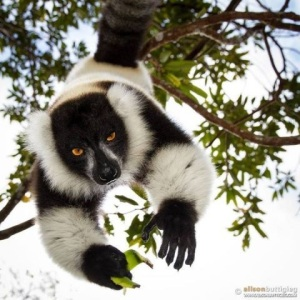 Black and white ruffed lemur hanging in a tree