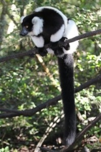 Black and white ruffed lemur in a tree showing its long fluffy tail