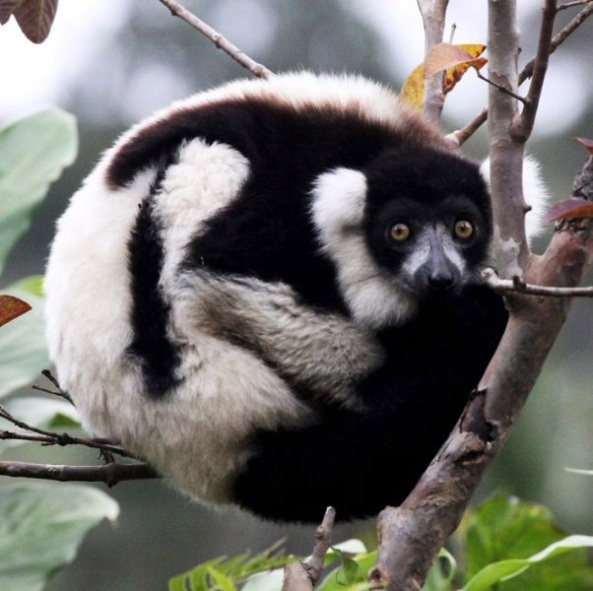 Black-and-white Ruffed Lemur in Andasibe-Mantadia National Park