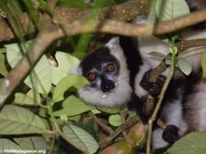 Black and white ruffed lemur on nest