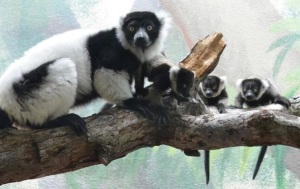 Black and White Ruffed Lemur with babies