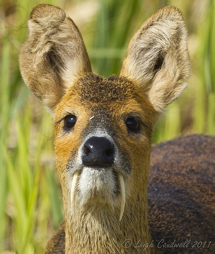 Chinese Deer Species Chinese Water Deer ""