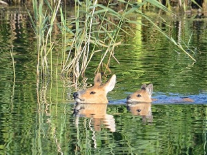 Chinese water deer and fawn by Hans Watson