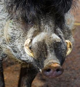 Close up Visayan warty pig
