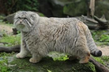 Pallas' cat
