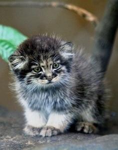 Pallas' cat 5