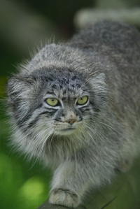 Pallas cat (Tula) residing at Wildlife Heritage Foundation, Smarden, Kent by Adrian Herridge   wiki