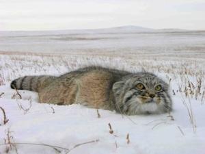 Pallas' cat WWF Russia