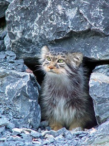 Pallas's cat or manul