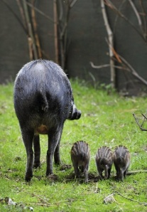 Three little Visayan pigs at Chester Zoo (2010)