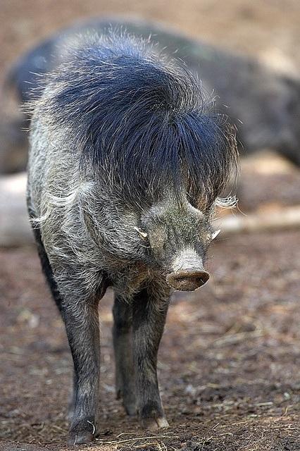 Visayan warty pig (Sus cebifrons)