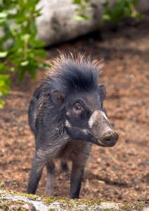Warty pig by Stephanie DeYoung