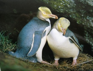 Yellow eyed penguin couple