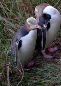 Yellow-eyed penguin courtship