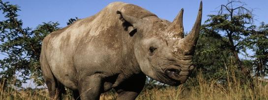 Black Rhino courtesy WWF