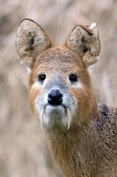 Chinese Deer Species 103 – Chinese Water Deer